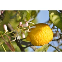 Lemon 15Kg